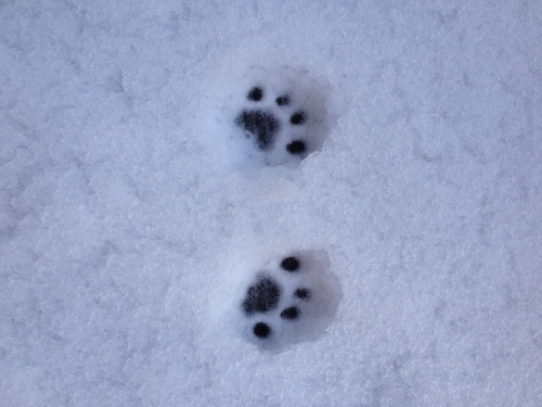 Pawprints in the snow!